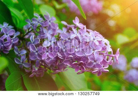Purple lilac flowers in spring blossom under soft sunlight- natural spring floral background. Lilac bush in the spring garden. Pastel and soft focus processing.