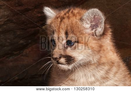 Female Cougar Kitten (Puma concolor) - captive animal