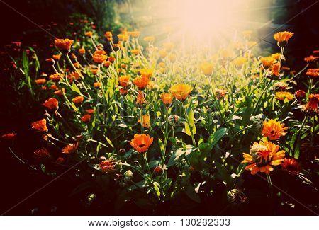 Flower of beautiful calendula in garden