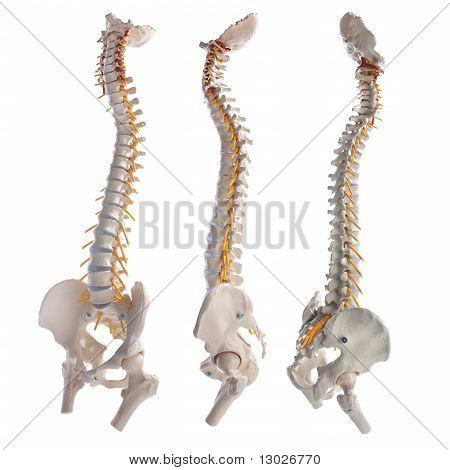 spinal columns