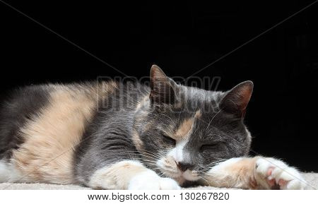 Calico cat taking a nap on the carpet