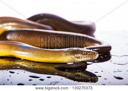 Single Rainbow Serpent Water Python - Liasis fuscus - isolated on black mirror in studio