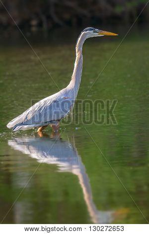 Grey heron (Ardea cinerea) in water with reflection