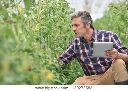 Farmer in greenhouse checking tomato plants