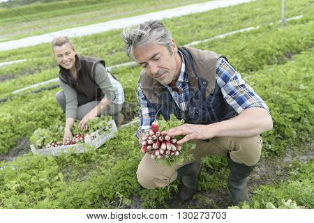Couple of farmers knelt in field collecting vegetables