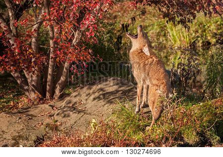 Coyote (Canis latrans) Howls - captive animal