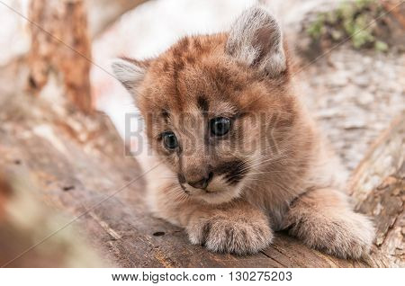 Female Cougar Kitten (Puma concolor) Snuggled in Tree - captive animal