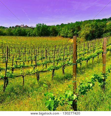 Hill of Tuscany with Vineyard in the Chianti Region at Sunset