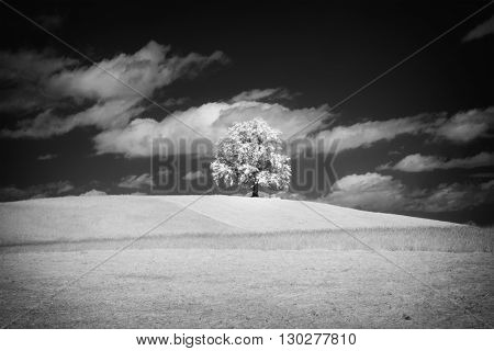 An image of a lonely tree with infrared filter