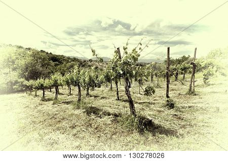 Young Vineyard in the Italian Apennines Retro Image Filtered Style