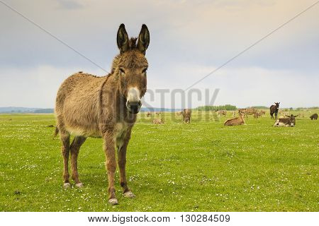 Drove of donkeys restingin the green meadow