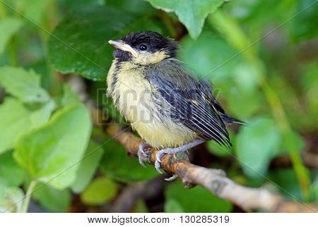 Greenhorn chick tit sitting on a branch (bird on branch)