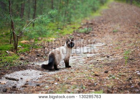 Siamese cat walking in the pine forest.