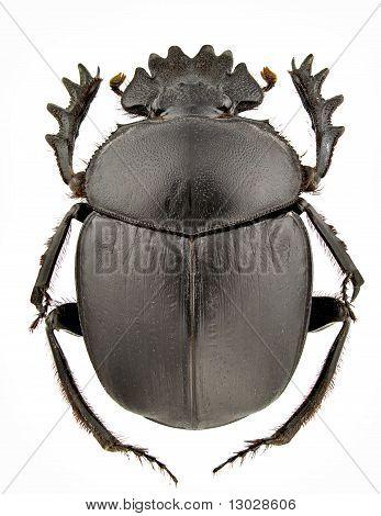 Scarabaeus Typhon