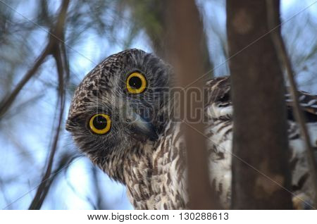 Curious Australian Powerful Owl looking down from a tree