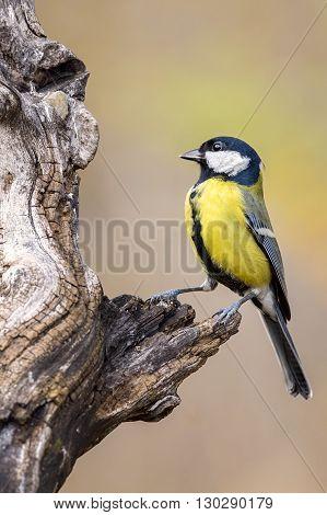 titmouse bird resting on a tree trunk outdoors