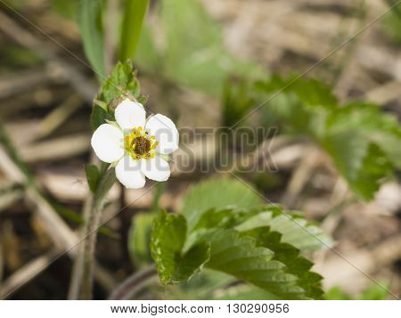 Flower of Strawberry Fragaria viridis close-up with leaves selective focus shallow DOF