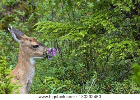 An Isolated Black Tail Deer While Eating Firebloom In Alaska In The Forest Green Background