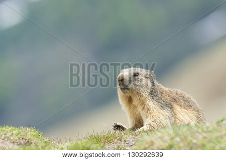 Isolated Marmot looking at you from grass