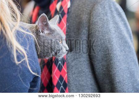 British Shorthair Cat Close Up
