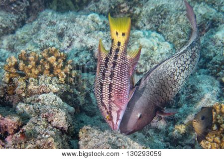 Colorful Grouper In The Blue Background