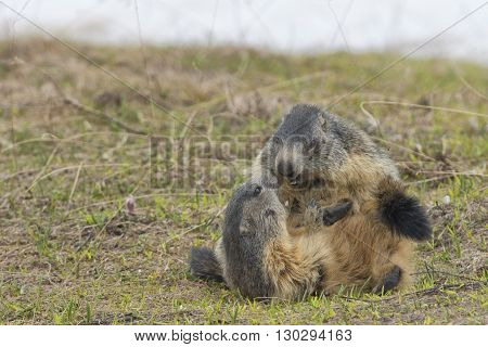 Marmot portrait on grass background while fighting