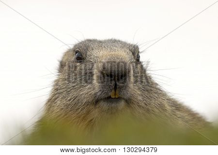 Marmot Portrait While Looking At You