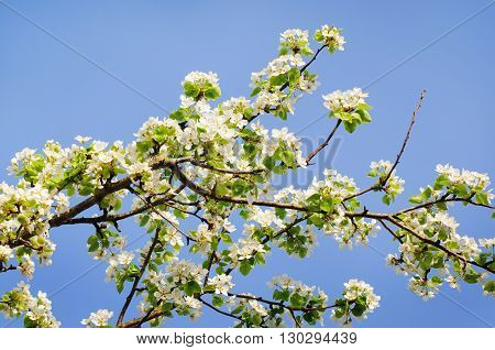 photo of blossoming tree brunch with white flowers on blue background