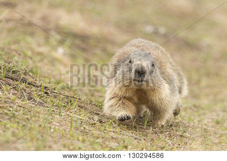Isolated Marmot