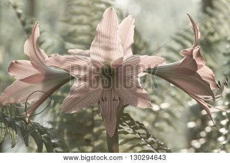 Hippeastrum Johnsonii Bury Beautiful Flower