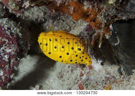 Yellow Box Fish Ostracion Cubicus Close Up Portrait