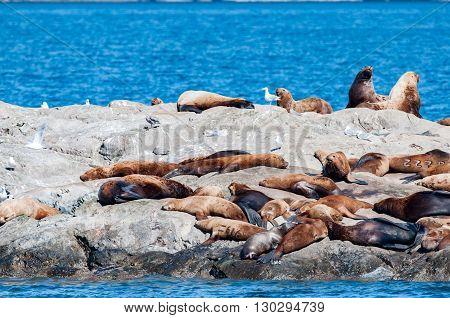 Prince William Sound Alaska Sea Lion