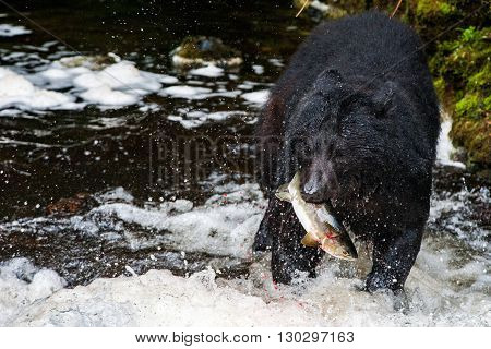 Black Bear Eating A Salmon In Alaska