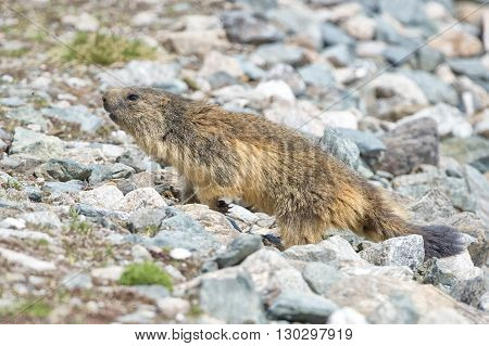 Marmot Portrait While Walking