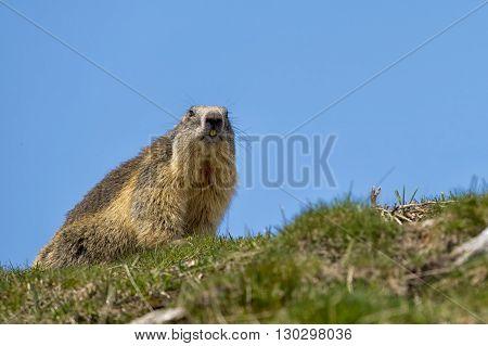 A Marmot Portrait
