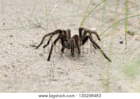 Tarantula Spider Close On The Sand Background