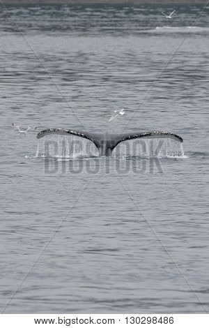 Humpback Whale Tail Splash With Seagull Inglacier Bay Alaska