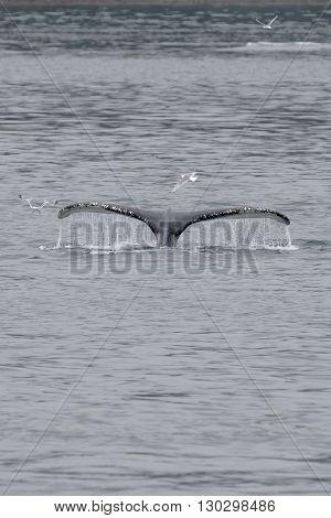 Humpback Whale Tail Splash With Seagull Inglacier Bay Alaska