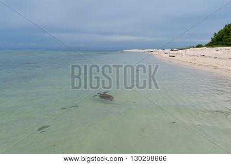 A Turtle In Malaysia Sipadan Island Crystal Water Sand Shore