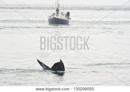 Humpback Whale In Alaska