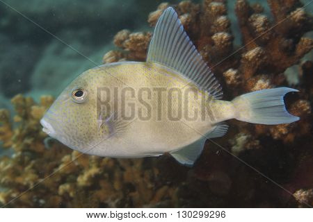 Trigger fish underwater close up portrait on reef