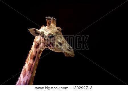 Circus Giraffe Close Up Portrait