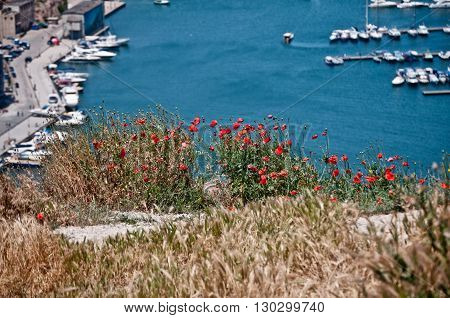 Poppies on a hillside above the bay