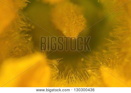 Courgette Yellow Flower Pistil Zucchini Macro