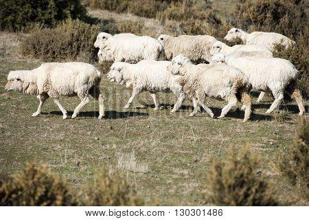 Sheep Flock On Patagonia Grass Background
