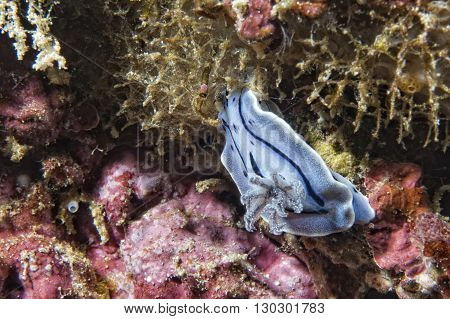 Chromodoris Coi Nudibranch