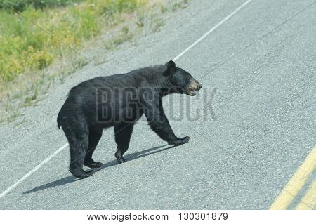A Black Bear Crossing The Road In Alaska Britsh Columbia