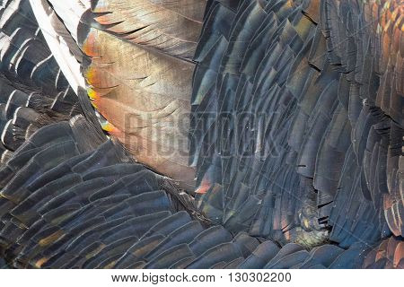 Turkey Feathers Rainbow Metallic Background