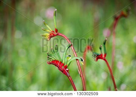 Kangaroo Pow flower West Australia symbol detail