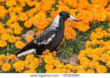 Magpie In Australia On Orange Blossom Glower Background